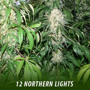 cannabis-seeds-NORTHERN-LIGHTS