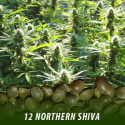 cannabis-seeds-NORTHERN-SHIVA