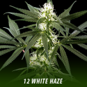 cannabis-seeds-WHITE-HAZE