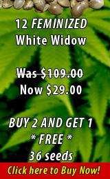 12 Feminized White Widow
