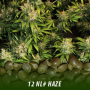 cannabis-seeds-nl-haze