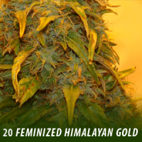 20 Himalayan Gold Feminized Seeds