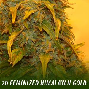 Himalayan Gold