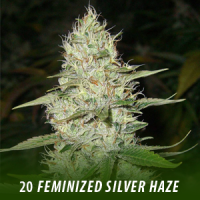20 Super Silver Haze Feminized Seeds