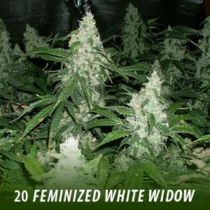 20 White Widow Feminized Seeds