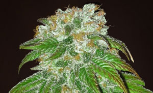 Big Bud Non-Feminized Cannabis Seeds
