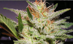 Cloudy Haze Non-Feminized Cannabis Seeds