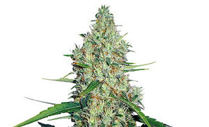 G13 Non-Feminized Cannabis Seeds