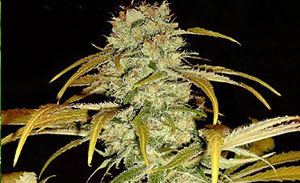 Hawaiian Indica Non-Feminized Cannabis Seeds