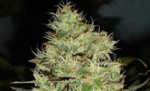 Jack Herer Non-Feminized Cannabis Seeds