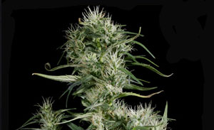 Nevilles Haze Non-Feminized Cannabis Seeds