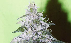 White Rhino Non-Feminized Cannabis Seeds